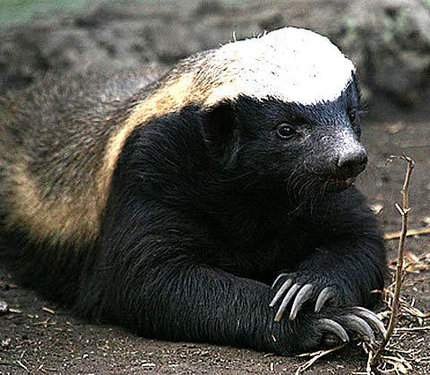 honey badger dont care just chillin