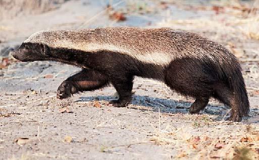 honey badger on hunt