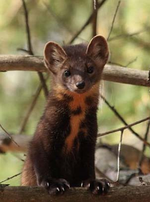 young marten in tree
