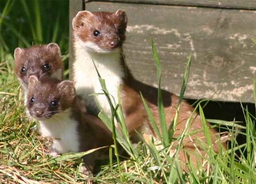 Baby short tailed weasel - photo#18