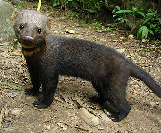 Tayra Clever Eats Whatever Animal Pictures And Facts