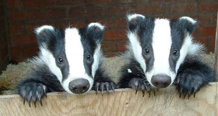Badger - Avid Digger | Animal Pictures and Facts | FactZoo.com
