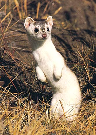 Weasels - Omnivore Mustelid Family Found All Over | Animal.