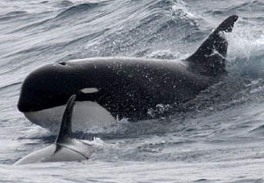 Orca type d the southern ocean recluse animal pictures and facts