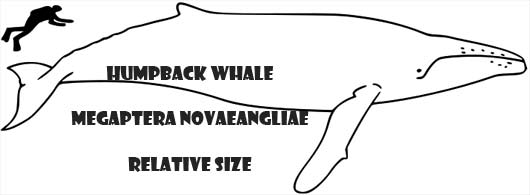 humpback relative size