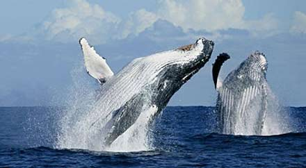 humpbacks breaching