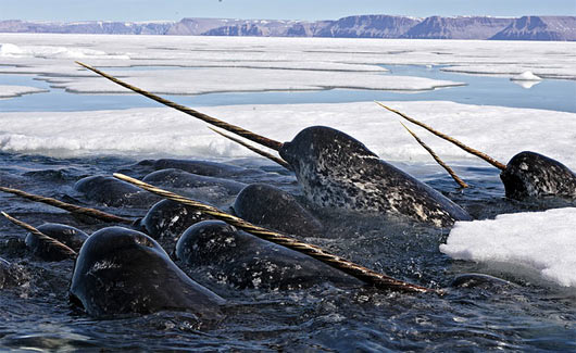Baby Narwhal Whale The narwhal is a dark bluish