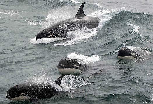 type d orca