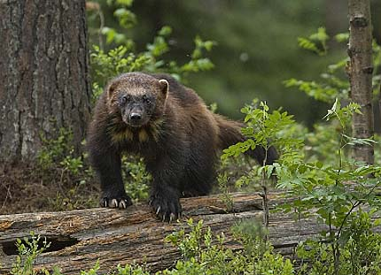 wolverine in the grass