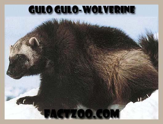 wolverine gulo gulo