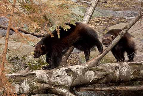 wolverines playing