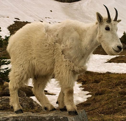 Mountain Goat - Rock-Climbing Maestro | Animal Pictures and Facts ...