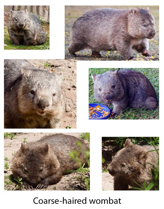Wombats | Animal Pictures and Facts | FactZoo.