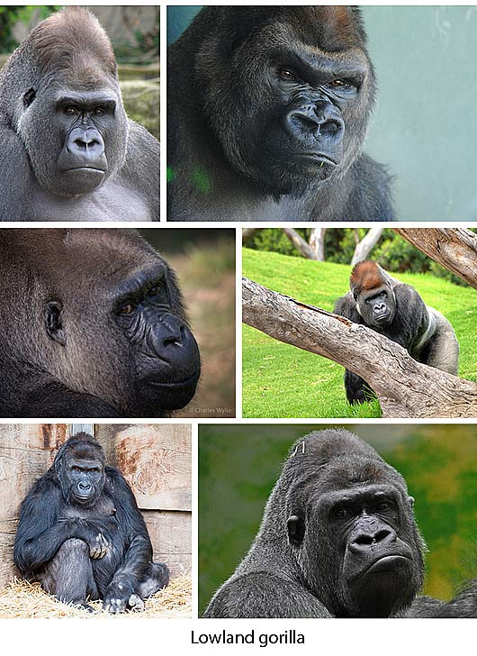 Gorillas - Nomadic Gentle Vegetarians | Animal Pictures and Facts ...