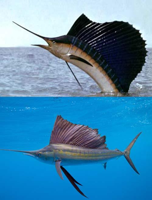 Sailfish vs marlin - photo#28