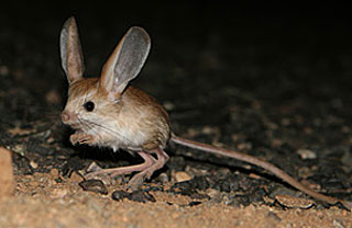 The great jerboa  like...