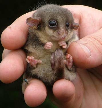 Top 10 Pygmy Animals | Animal Pictures and Facts | FactZoo.com