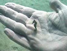 seahorse palm
