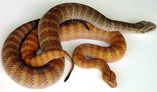 aussie death adder