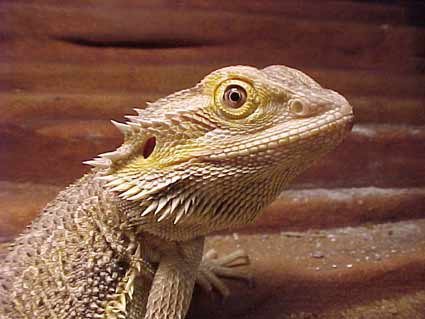 bearded-dragon-lizard.jpg