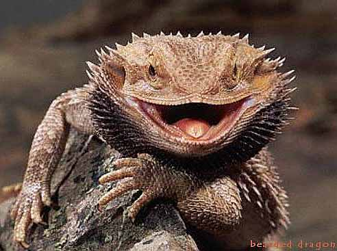 smiling beard lizard