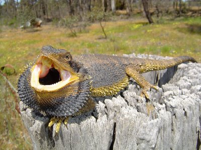 Bearded Dragon - Spiny, Fun Pet Dragon | Animal Pictures and Facts