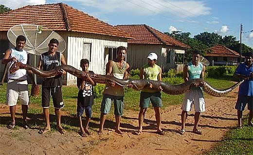 Anaconda - Water Boa - Largest Snake in the World | Animal ...