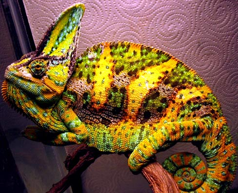 Chameleons Master Of Disguise With Unique Eyes Animal