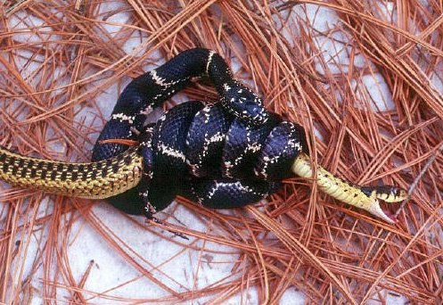 North Eastern Kingsnake