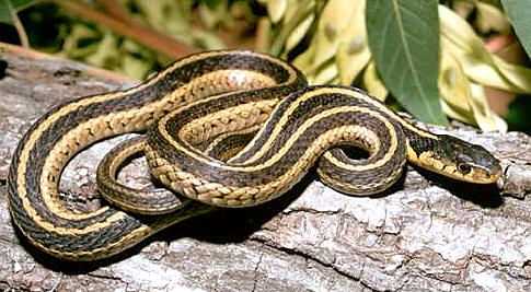 More Types of Snakes   Animal Pictures and Facts   FactZoo.com