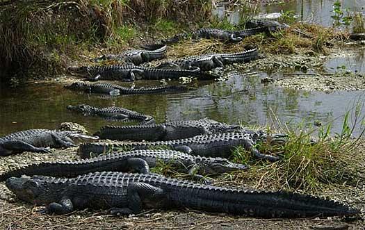 gators on the mississippi