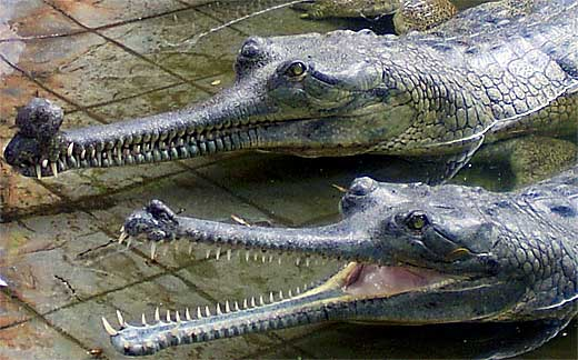 fish-eating croc