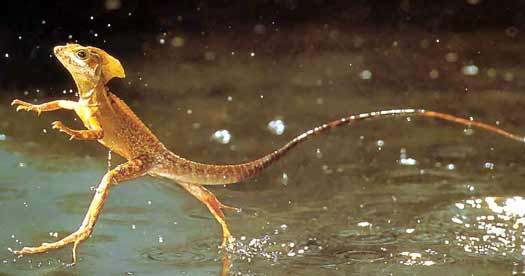 The Jesus Lizard running on water