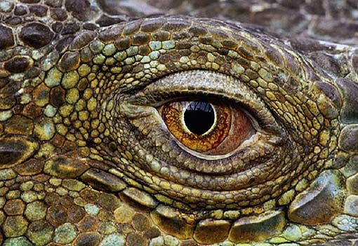 Black Eyes Lizard Stock Images, Royalty-Free Images &amp- Vectors ...