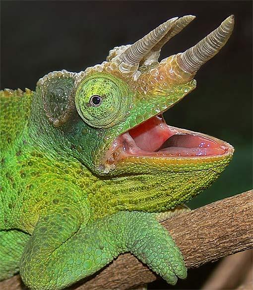 Chameleon Horns: Jackson's Chameleon - The Lizard That Has It All