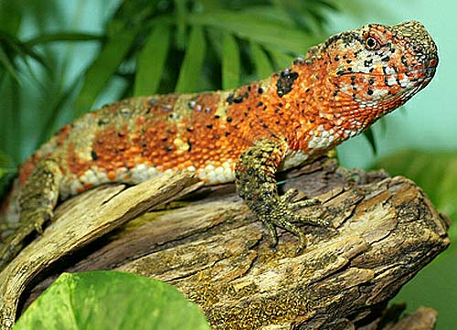 chinese croc lizard