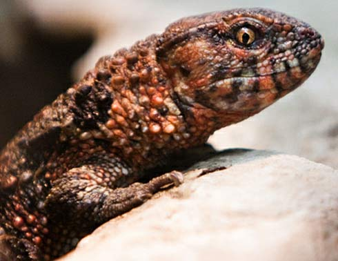chinese crocodile lizard close