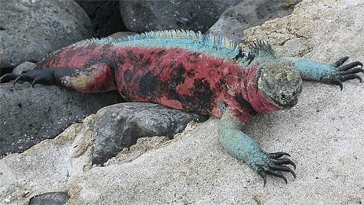 colorful marine iguana