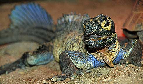 colorful sailfin lizard soa soa water dragon