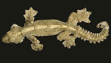 asian gecko control