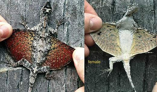 flying lizard draco maculatus