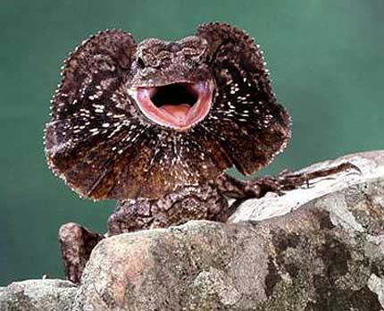 lizard australia rock