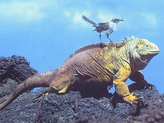 Galapagos Land Iguana - Yellow Crusty Islander | Animal ...