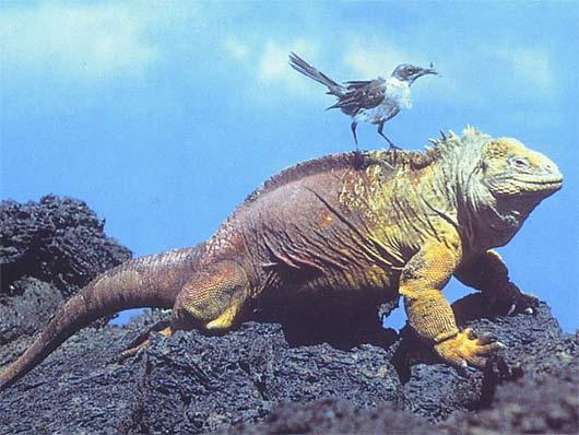 galapagos guana bird