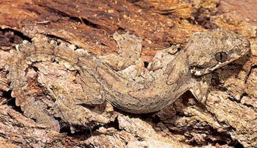 good camouflage flying gecko