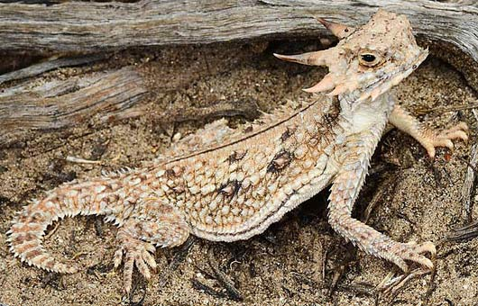 flat tailed horny toad