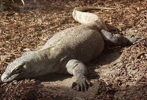 komodo dragon on the ground