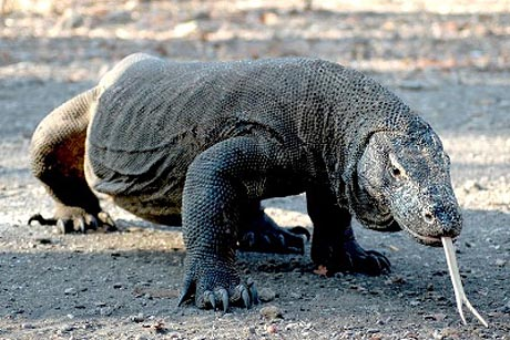 komodo dragon in the dirt