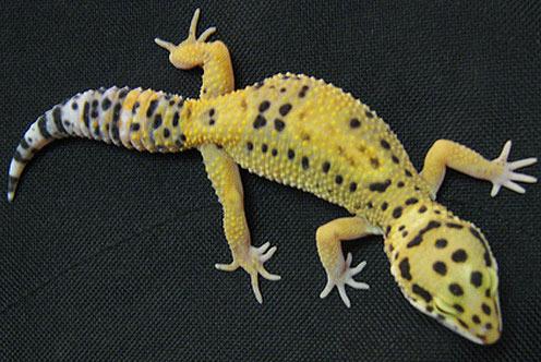 leopard gecko tangerine