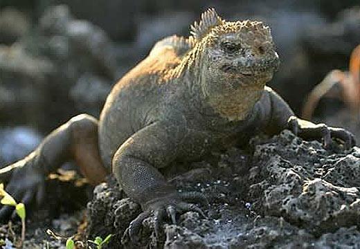 marine iguana ugly